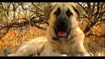 Turkish Dog Kangal protects African sheeps – Anatolian Guard Dog !!!