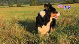 Border Collie: Informationen zur Rasse