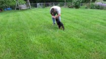German Shepherd Puppy begins Schutzhund Training
