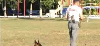 How to Train a Schutzhund : Learn Sit & Down Commands for Schutzhund Dog Training